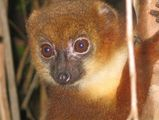 lemurien-parc-national-ranomafana-madagascar